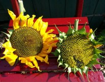 Two sunflower heads in the sun