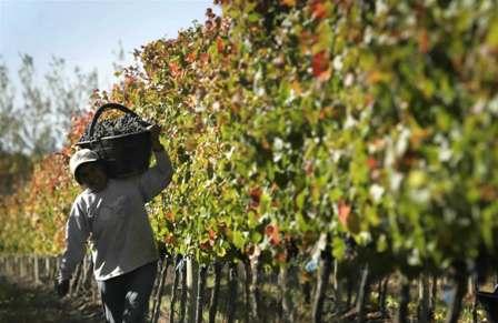 recolectando-uvas1