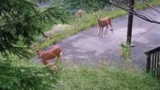 NC Deer, catching a peek of the race.