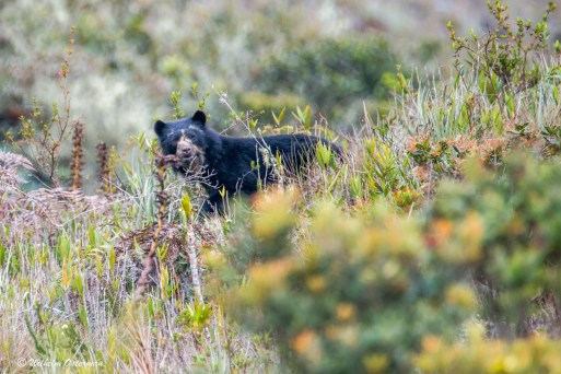 The spectactled bear