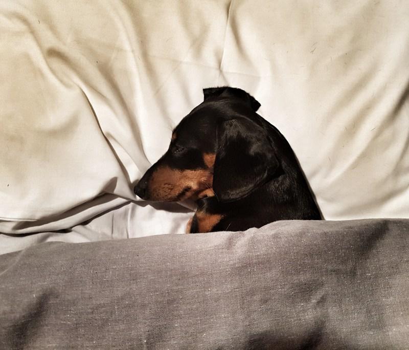 mini daxie sleeping in bed