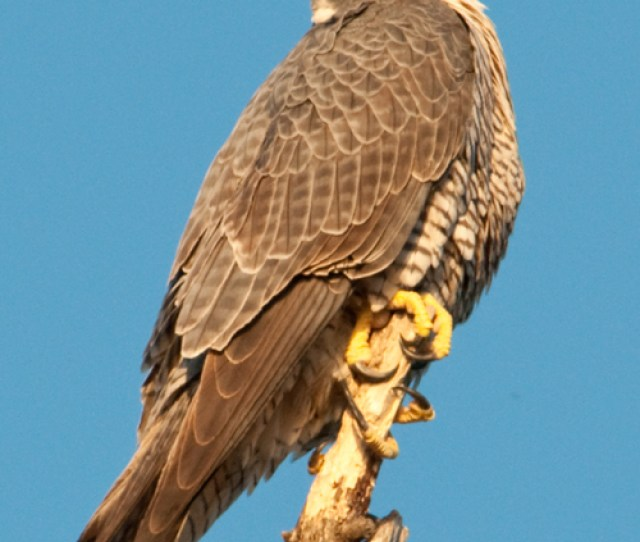 I Was Fortunate To Capture These Peregrine Falcon Images