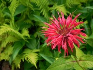 Monarda & ferns in front of the house