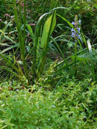Tiny monkey flower (foreground) growing with pickerel rush.