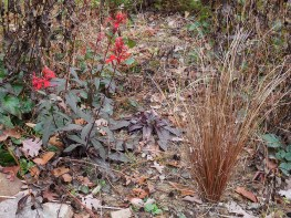 Red-leafed cardinal flower and cinnamon sedge