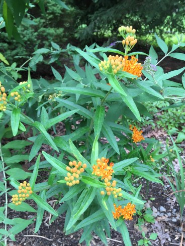 Butterfly weed is coming up well this year--4-5 plants came up from seed and probably won't bloom this year, but the parent plant is doing great.