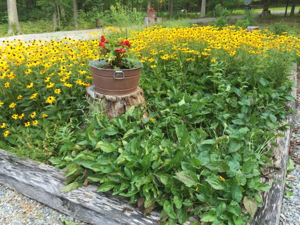 The barrel no longer looks like it's drowning in a sea of rudbeckia.