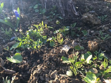California poppy seedlings, with siberian squill (also planted last fall) nodding over them in approval.