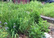 The rain/bog garden is looking good.