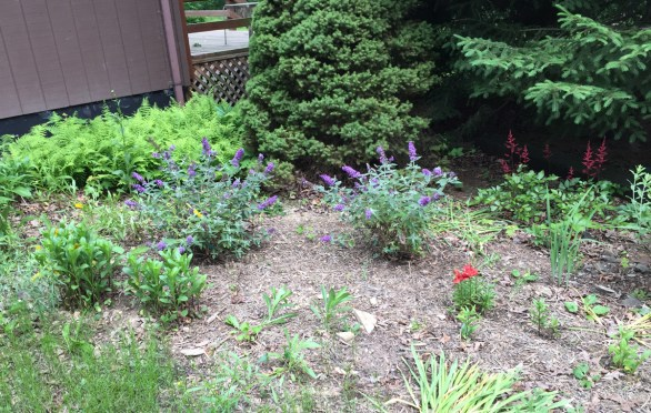 Trying some new (dwarf) butterfly bushes this year: Blue Chip.