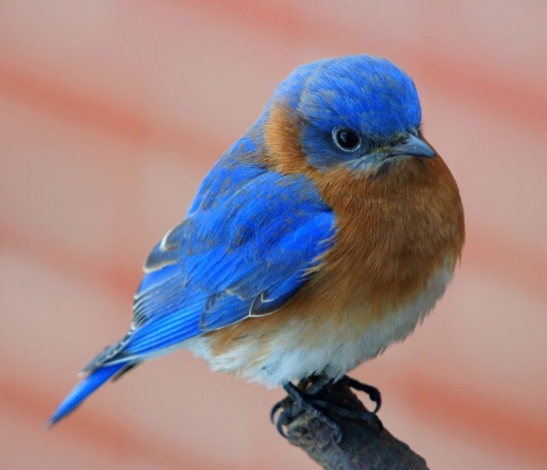 Extra Tips for Bring In Bluebirds