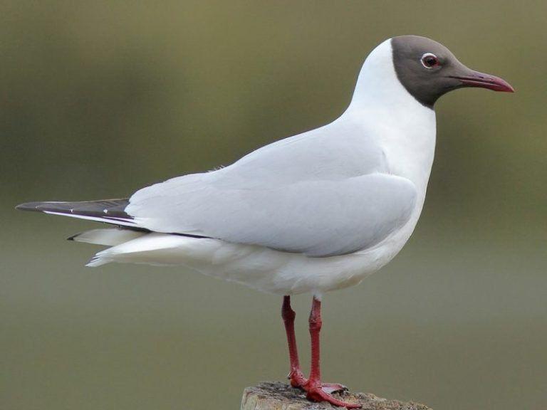 Black-headed Gull.