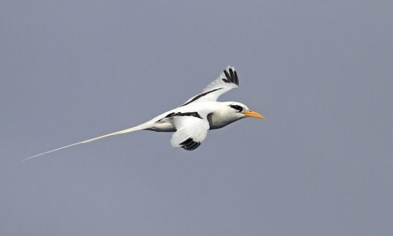 White-tailed Tropicbird.