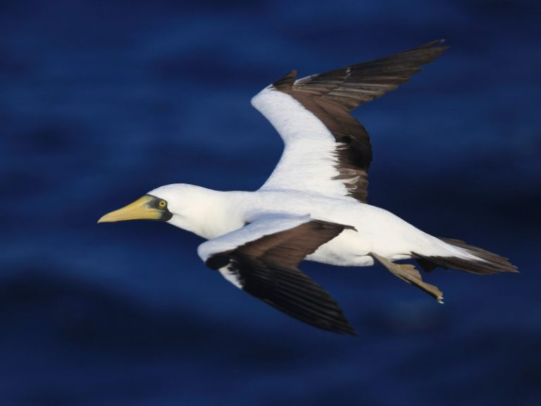 Masked Booby.