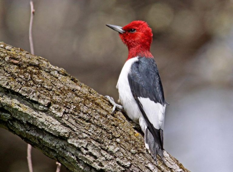Red-headed Woodpecker.