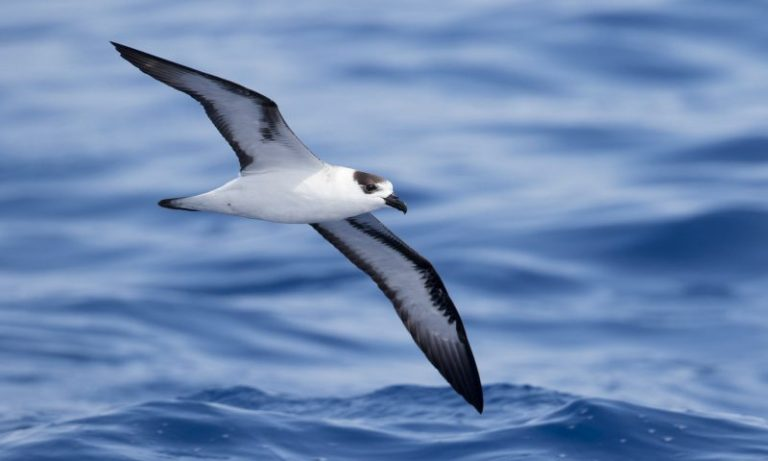 Black-capped Petrel.
