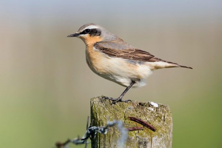 Northern Wheatear.
