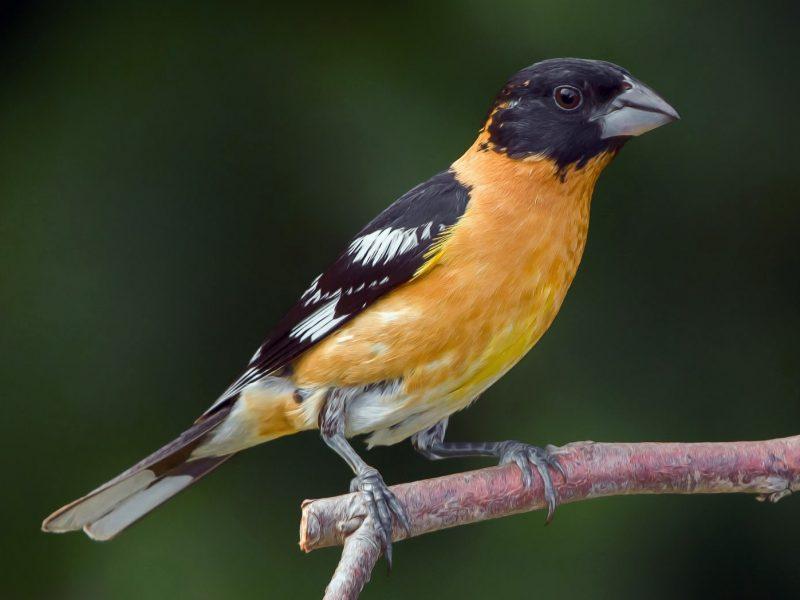 maryland birds