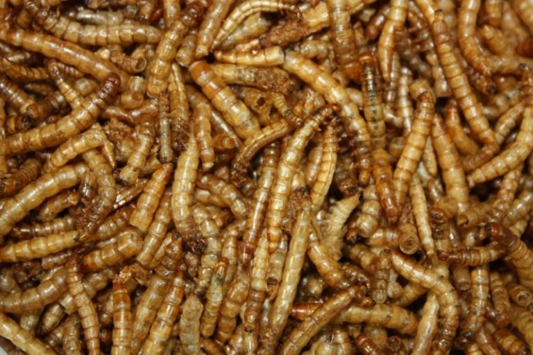 Live or Dried Mealworms