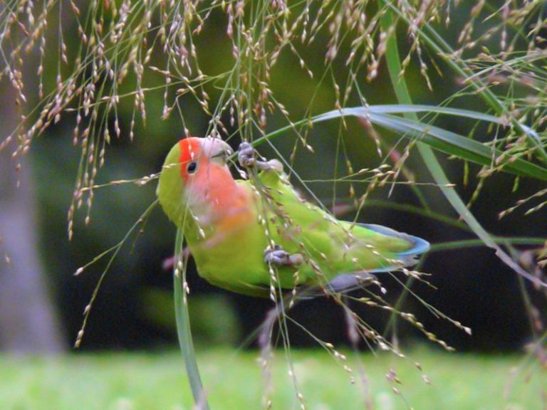 Mango Faced Lovebirds