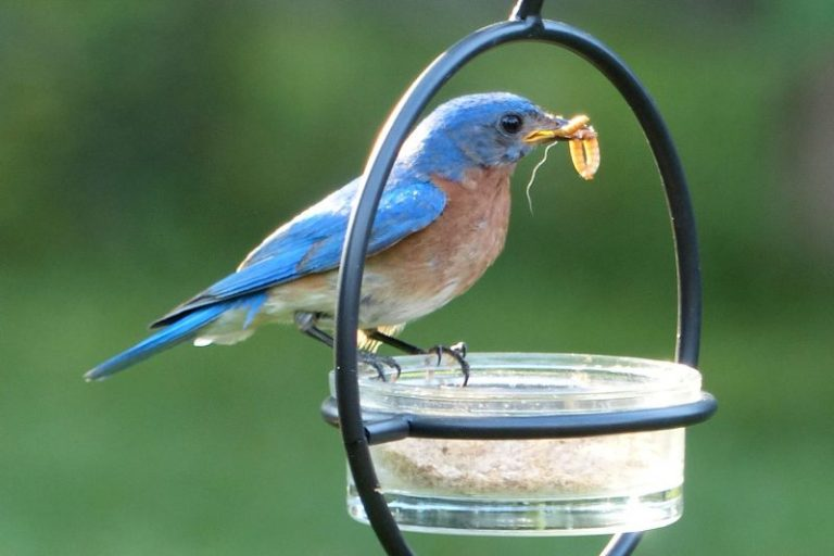 What Birds Eat Mealworms