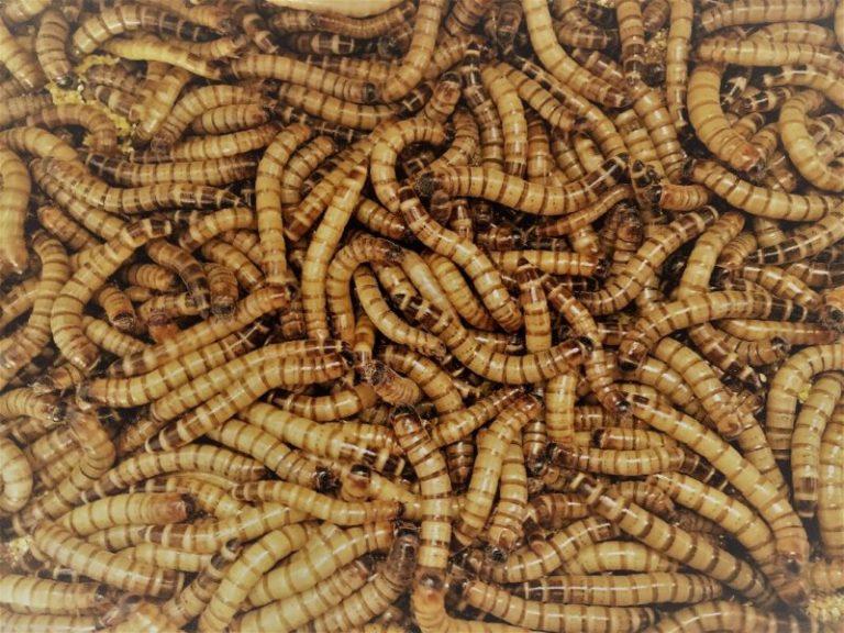 Establishment Mealworms Safely