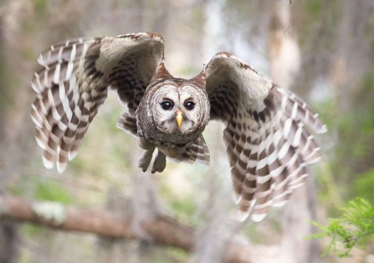 Delving Owl