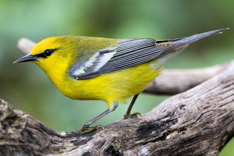yellow birds in ohio