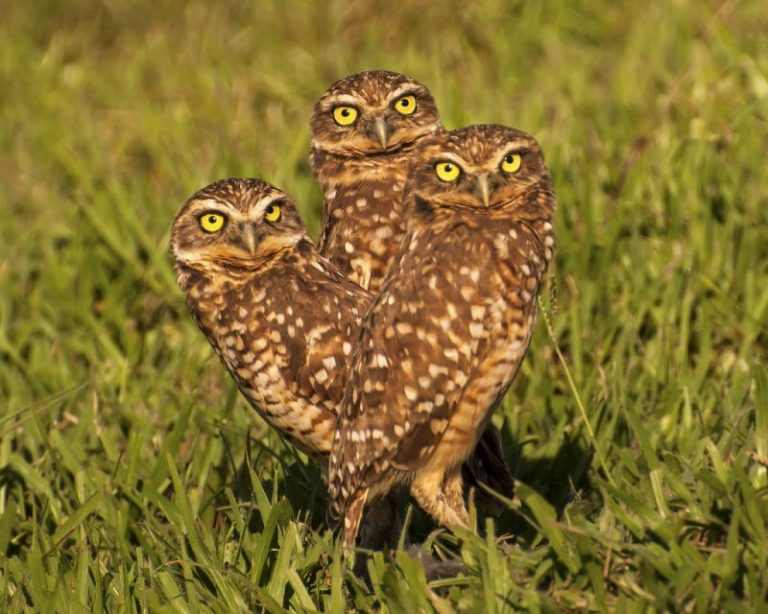 Tunneling Owl (Athene cunicularia)