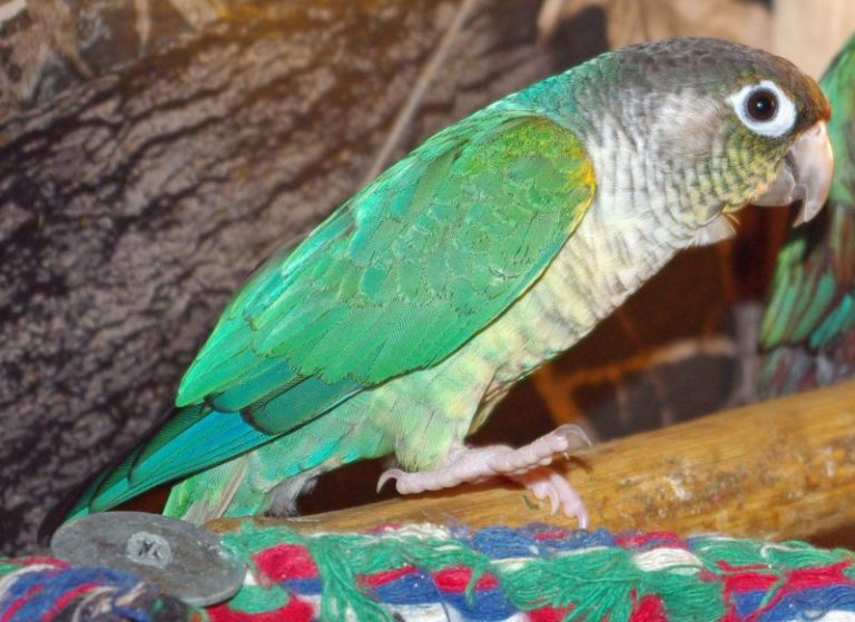 Price of a Green Cheek Conure