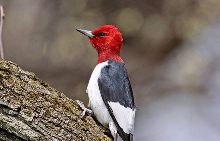 black bird with red head