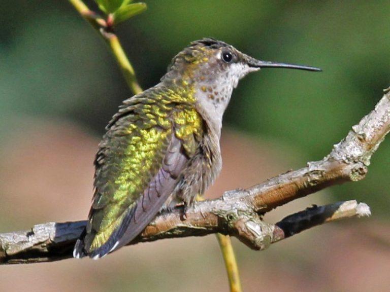 hummingbirds in georgia
