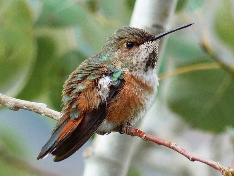 hummingbirds in oregon