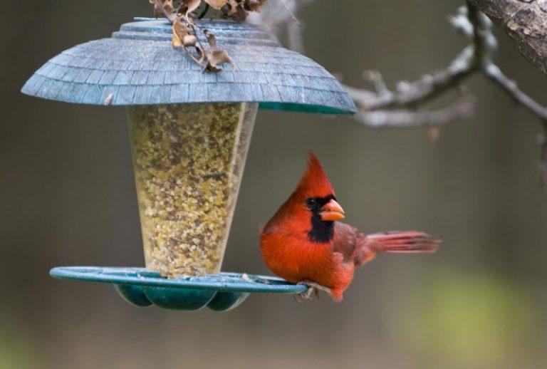 What seeds do cardinals eat