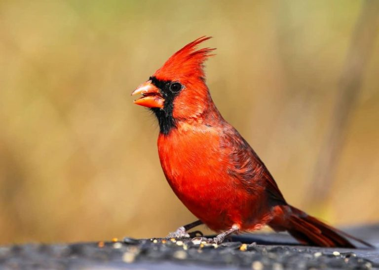 What to Look for When Buying Birdseed for Cardinals