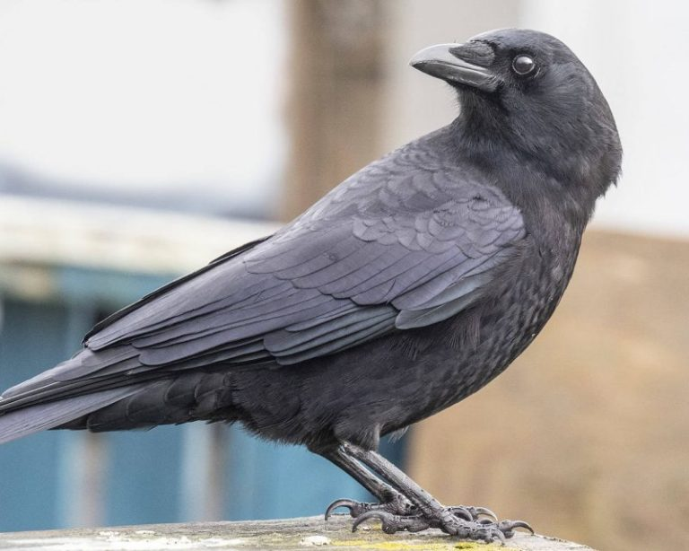 how to attract crows