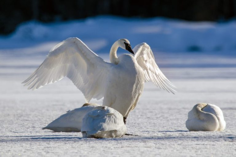 Trumpeter Swan (Olor buccinator)