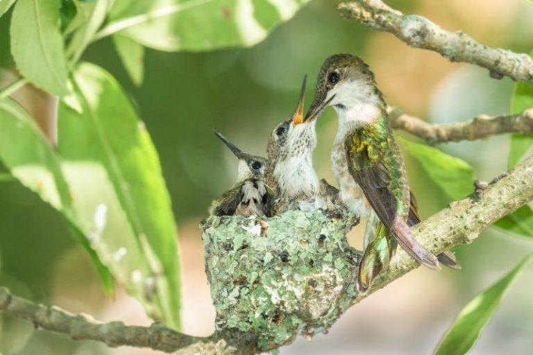 Basic Hummingbird Nest Facts
