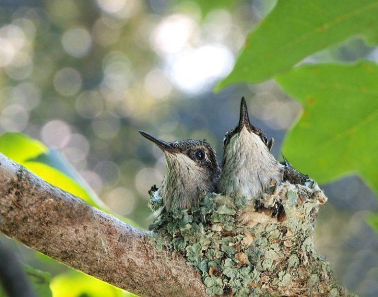 hummingbird nests