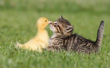 cute-and-funny-wallpaper-of-a-young-cat-and-duck-being-best-friends