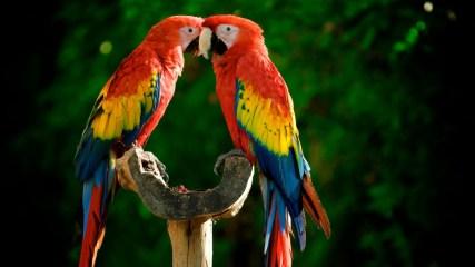 parrots-couple-colorful-feathers-1920x1080