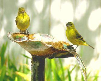 wild-canaries-yellow-birds