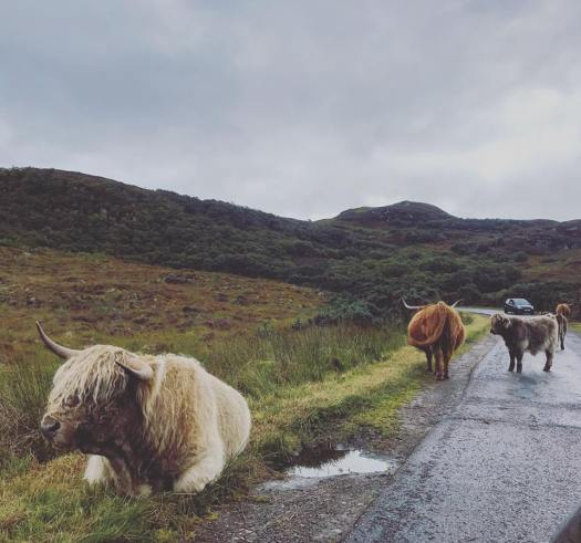 Photo of highland cattle at the side of the road