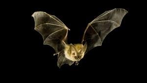 bat-inline