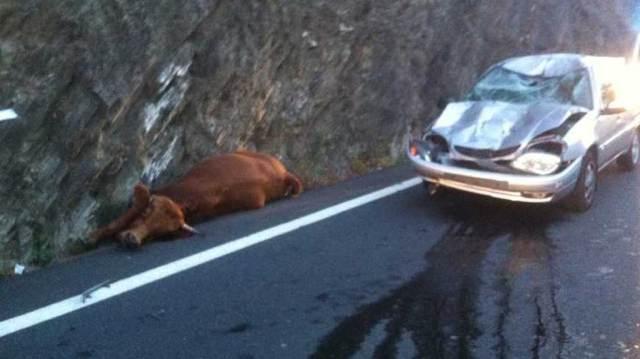 La Vache di Fetchez: Un incidente stradale della mucca