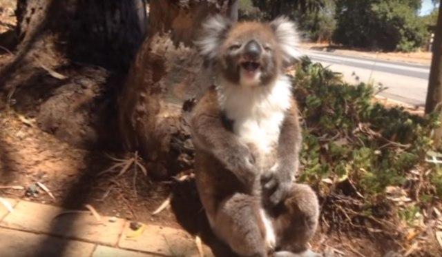 Guardi una koala gridare dopo avere ottenuto dato dei calci a da un albero