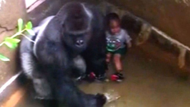 Internet dice che la gorilla che è sfuggito a zoo di Londra lo ha fatto per Harambe