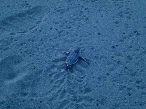 a baby leatherback turtle heads for the ocean at Pacuare