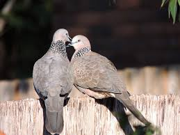 turtledove