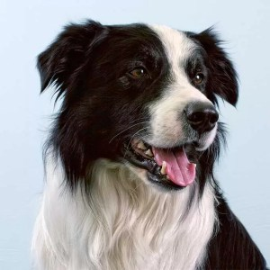 Border Collie: the most intelligent dog breed – demonstration of sheep herding